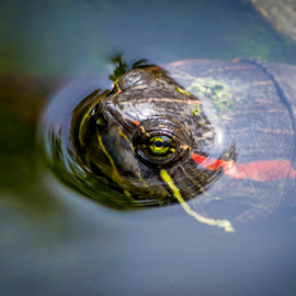 Red-Eared Slider Turtle by Amit Tekwani - Animals Reptiles