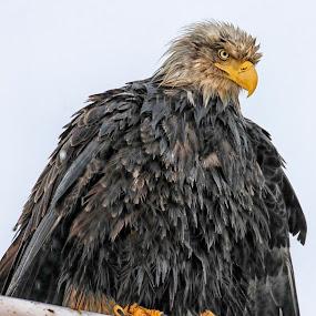 The Judge by Capt Jack - Animals Birds ( bird of prey, alaska, bald eagle, raptor, bering sea )