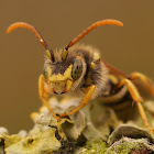 Gooden's Nomad Bee