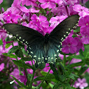 Pipevine Swallowtail (male)