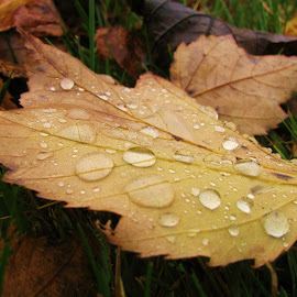 After the Rain by Janet Herman - Nature Up Close Leaves & Grasses ( grasses, nature, autumn, grass, fall, raindrops, leaves, rain )