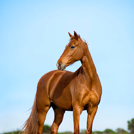 Carmel A'era by Gerhard Jooste - Animals Horses (  )
