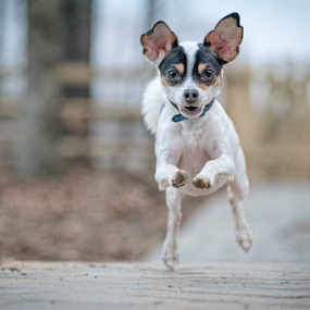 Seamus Full Tilt by Lorella Johnson - Animals - Dogs Playing ( chihuahua run fast dog )