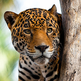 Jaguar on the prowl by Joe Thomas - Animals Lions, Tigers & Big Cats ( cats, jaguar, predator, animals, big cats )