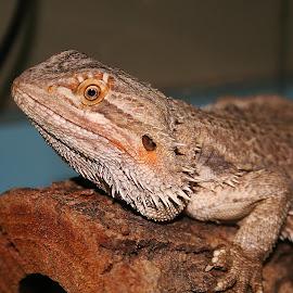 Bearded Dragon Portrait by Waynette  Townsend - Animals Reptiles ( lizard, dragon, reptile, bearded dragon, portrait,  )