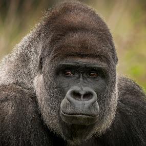 Cousin by Darren Whiteley - Animals Other Mammals ( headshot, great, ape, gorilla, portrait,  )