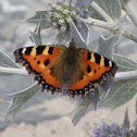 Small Tortoiseshell (wings opened)