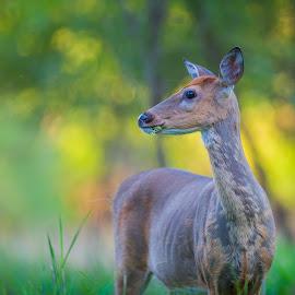 Shedding Deer by Chris Hurst - Animals Other Mammals ( whitetail deer, whitetail, white tail deer, doe. whitetail doe, deer )