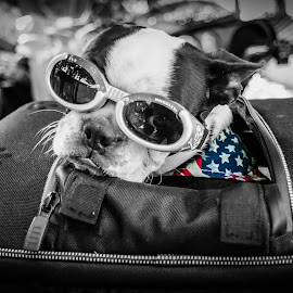 Prepping for the road by Jacques Mongis - Animals - Dogs Portraits ( #biker, #bostonterrier, #harley, #badasspuppy, #roadtrip )