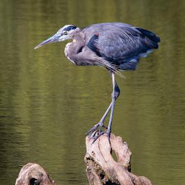 Heron Meets Turtle by Jennifer McWhirt - Animals Birds ( old hickory lake, animals, blue heron, photographybyjenmcwhirt.com, tennessee, turtles, birds )