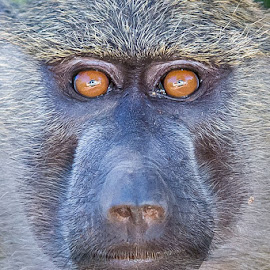 Look me in the eyes by Rolf Crisovan - Animals Other Mammals ( mammals, animals, travelling & trips, tiere, säugetiere, tanzania, tansania, lake manyara national park, locations, grüner pavian, safari, affen, papio anubis, africa, primates, activity, olive baboon )