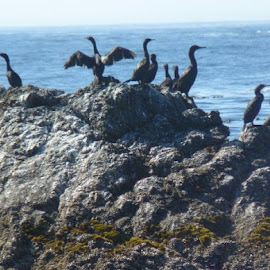 Cormorants by Pat Galbraith - Animals Sea Creatures