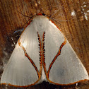 Orange-rimmed satin moth