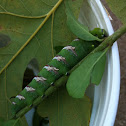 Cedar Incense Sphinx moth (larva)