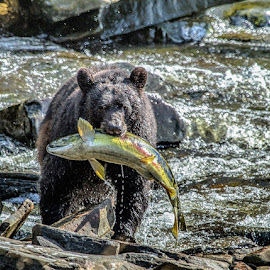Black Bear In Neets Bay Alaska by Brent Morris - Animals Other Mammals