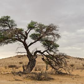Portrait of a Tree by Charel Schreuder - Nature Up Close Trees & Bushes ( photo sales, tree, south africa, thorn, googlephotographer, kgalagadi transfrontier park, landscapes, kalahari, portrait, charel schreuder )