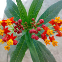 Mexican Butterfly Weed ( Blood-flower )