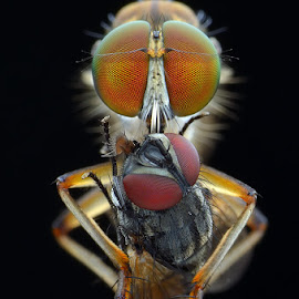 Robberfly with prey by Chee Yeow Lim - Animals Insects & Spiders