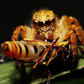 by Andy Teoh - Animals Insects & Spiders ( animals, macro, spider, insect, andyteoh photography,  )