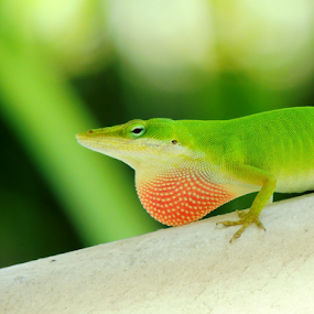 Green Anole by Jamie Boyce - Animals Reptiles ( lizard, flag, anole, color, green, florida, signal, reptile, animal,  )