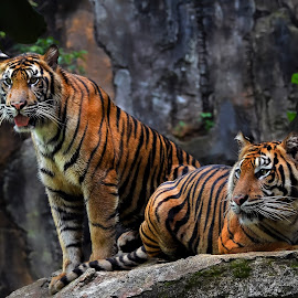 Brothers by Dikky Oesin - Animals Lions, Tigers & Big Cats ( love, beast, big cats, animals, tiger, brotherhood, stripes )