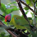 Plum headed parakeet-male