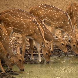 deer feast by Riju Banerjee - Animals Other Mammals