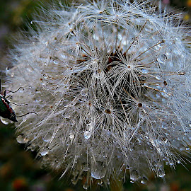 Morning Joy by Marija Jilek - Nature Up Close Other plants ( water, dandelion, nature, joy, drops, plants, seeds, morning )