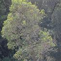 Canelón tree