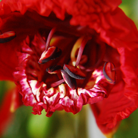 flamboyant  by Angeline JoVan - Novices Only Flowers & Plants ( red, bud, flamboyant, flower,  )