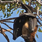 Indian Flying-fox