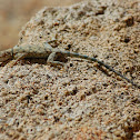Banded rock lizard