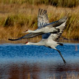Together by Mark Nicholson - Animals Birds ( flight, animals, mark nicholson, birds, together, sandhill cranes, mnlitewerks,  )