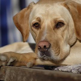 Artù  by Marco Andreini - Animals - Dogs Portraits ( dog labrador portrait ritratto fujifilm canon fd 135 mm )