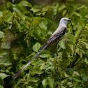 Texas bird-of-paradise (Scissor-tail Flycatcher)