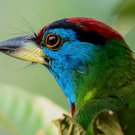Named for the bristles ...Barbet  by Subrata Kool - Animals Birds ( wings, barbet, bluethroated barbet, feathers, birds, animal )