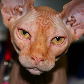 Sphynx Cat by Waynette  Townsend - Animals - Cats Portraits ( sphynx, cat, pet, gold, feline, portrait,  )
