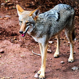 Standing Coyote by Joe Thomas - Animals Other ( coyote, canis latrans, canis, wild dog, wild coyote )