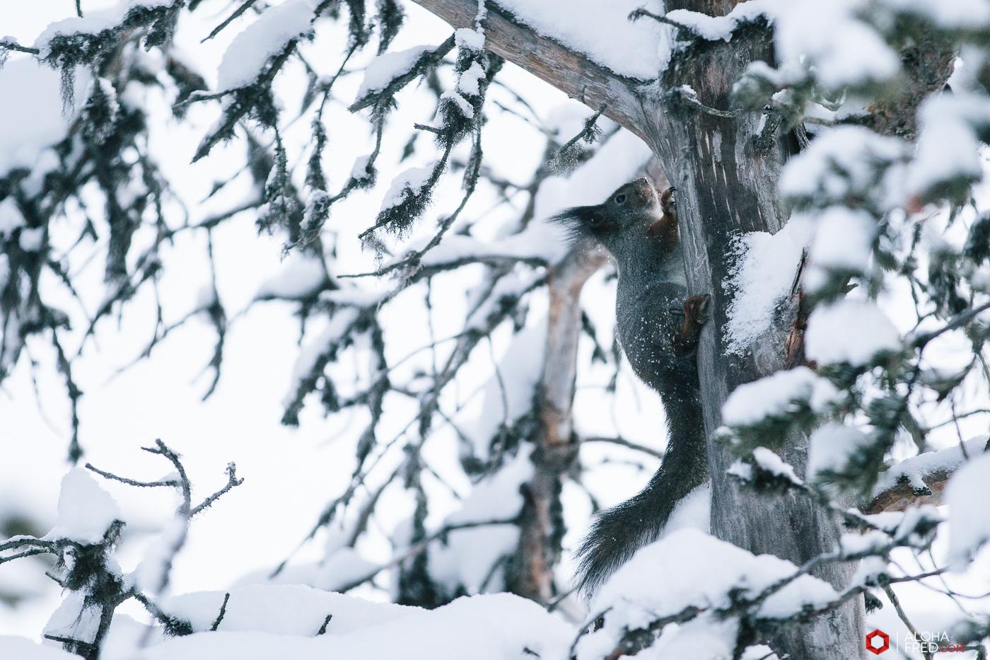 0002 - alohafred Laponie - 6R1A6135
