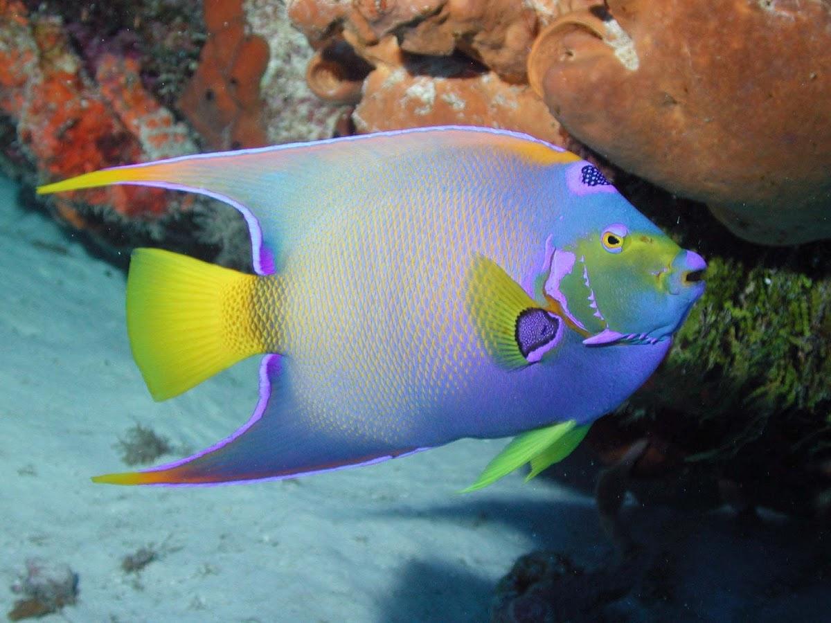 Queen angelfish project noah for Queen angel fish