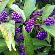 Purples in Nature of Ontario