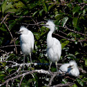 Cattle Egret (hatchlings & mother)ulcus ibis