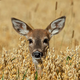 Whitetail Fawn by James Harrison - Animals Other Mammals