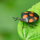 Red-spotted Stink Bug