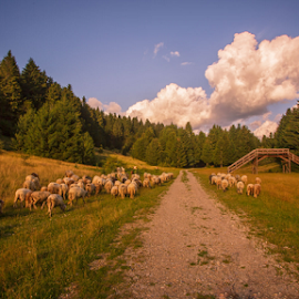 Sheep at golden hour by Stanislav Horacek - Landscapes Prairies, Meadows & Fields