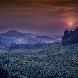 Morning at the tea plantation by Crispin Lee - Landscapes Prairies, Meadows & Fields