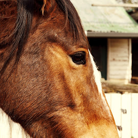 Noah by Michelle du Plooy - Animals Horses ( equine, bay, horse, portrait, profile )