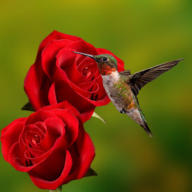 Ruby rose by Lyle Gallup - Digital Art Animals ( bird, rose, hummingbird, flowers, animal, , fly, flight )