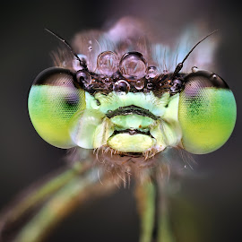 Green by Ondrej Pakan - Animals Insects & Spiders ( macro, dew, dew drops, dragonfly, insect )