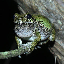Gray Treefrog by Matt Carrick - Animals Amphibians (  )